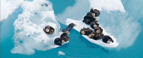 Sealions on Ice