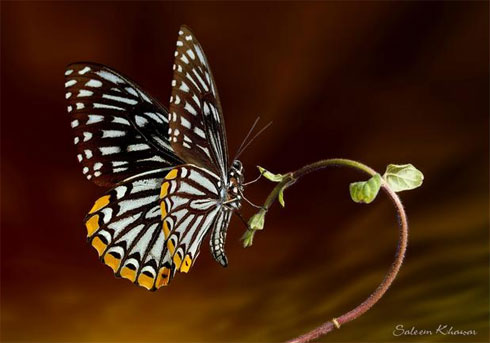 Butterfly, by Saleem Khawar